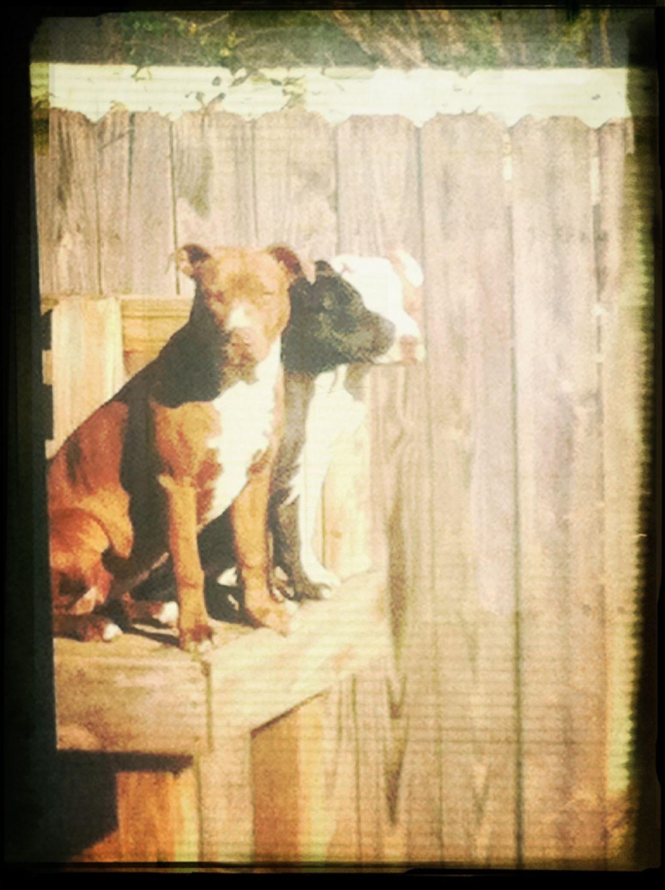 My 3 Pitbulls ^_^