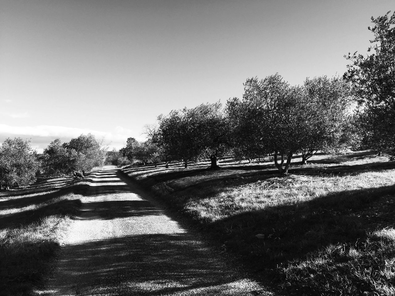 Landscape_Collection Landscape_photography Nature Black & White Blackandwhite Clear Sky Beauty In Nature A Place To Be Olive Tree