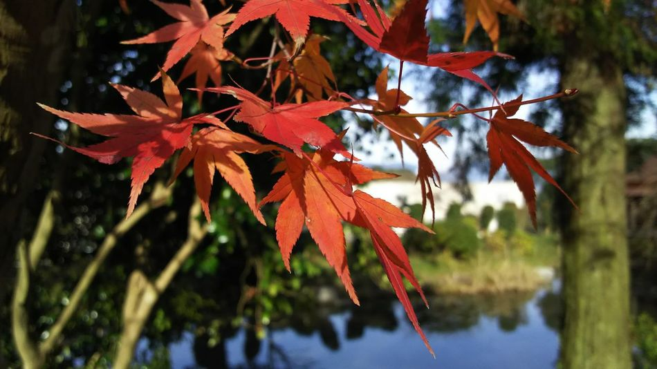 Autumn Beauty In Nature Early Winter Leaf Red The Purist (no Edit, No Filter) Tree Water