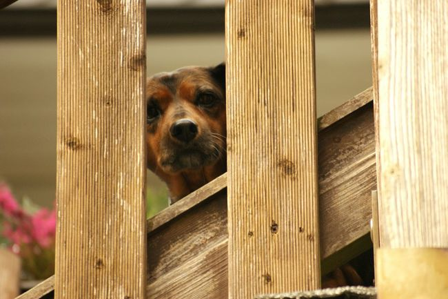 Animal Themes Domestic Animals Dog One Animal Pets Mammal Wood - Material Looking At Camera Peeking Focus On Foreground Wooden Fence Plank Outdoors Day No People