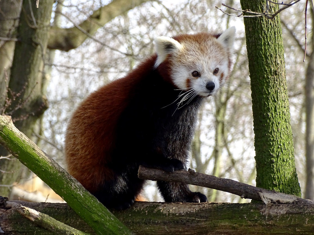 Animal Themes One Animal Red Panda Nature Animal Animal Photography Animal_collection Animal Portrait From My Point Of View EyeEm Gallery EyeEm Best Shots