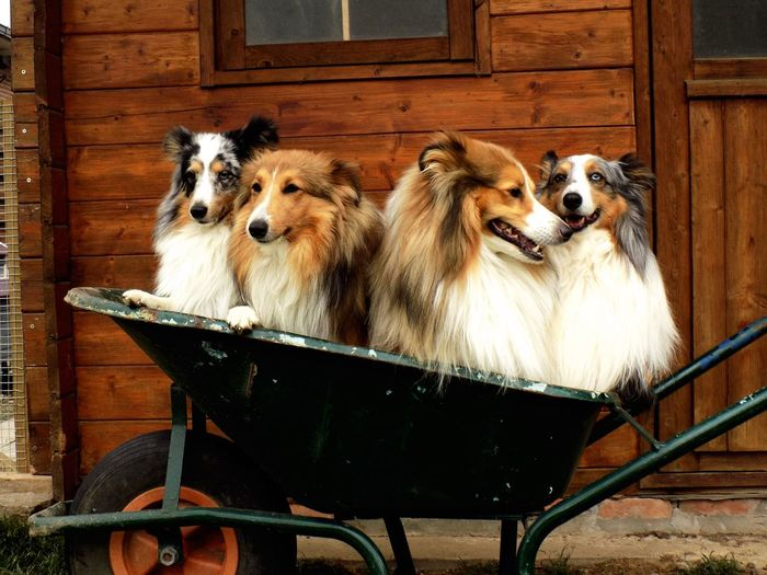 Domestic Animals Mammal Animal Themes Dog Pets Wood - Material No People Outdoors Togetherness Day Sitting Portrait Close-up Nature 3XSPUnity Edendessart Sheltie EyeEmNewHere