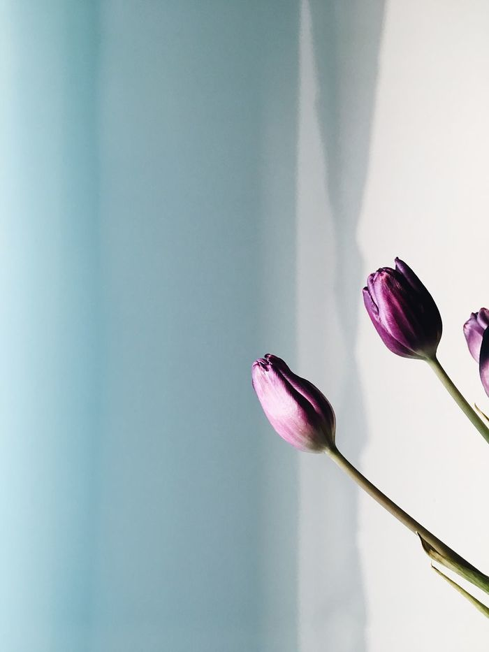 Little beauties Flower Fragility Freshness Nature Beauty In Nature Petal Growth Flower Head No People Close-up Flora Flowers Tulips Violet Purple Purple Flower Plant Plants And Flowers White White Background Minimalism Minimal Minimalobsession EyeEmNewHere