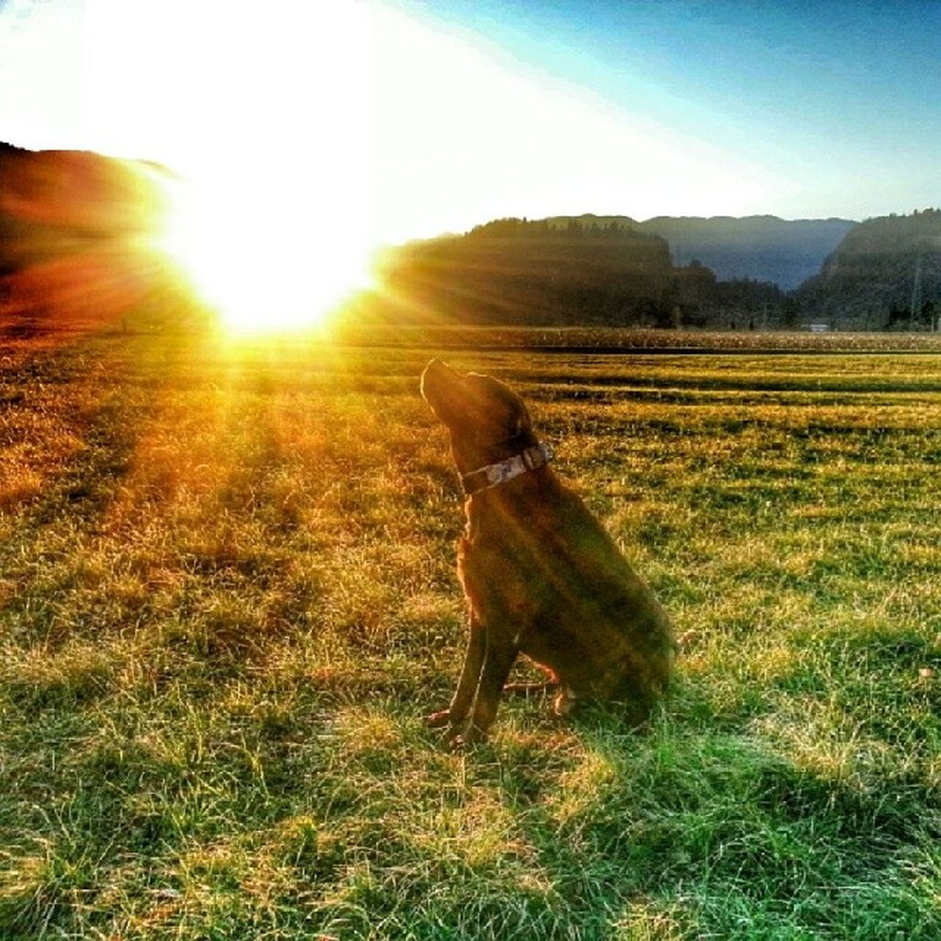 sun, grass, field, domestic animals, sunbeam, one animal, sunlight, lens flare, mammal, animal themes, landscape, grassy, full length, dog, standing, pets, one person, sky, nature, tranquility