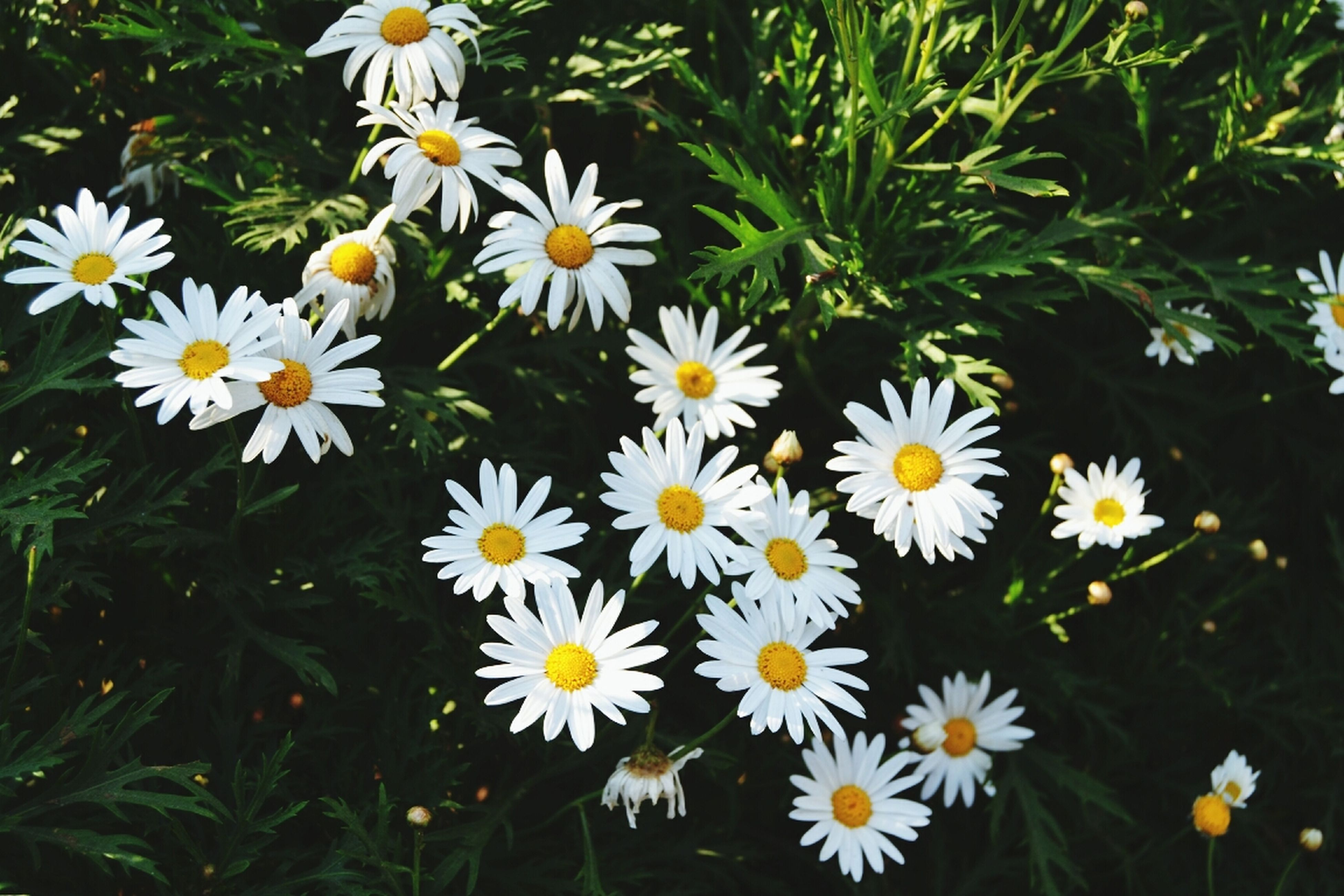 flower, freshness, petal, fragility, daisy, growth, white color, flower head, beauty in nature, blooming, plant, high angle view, nature, yellow, field, pollen, in bloom, green color, wildflower, close-up