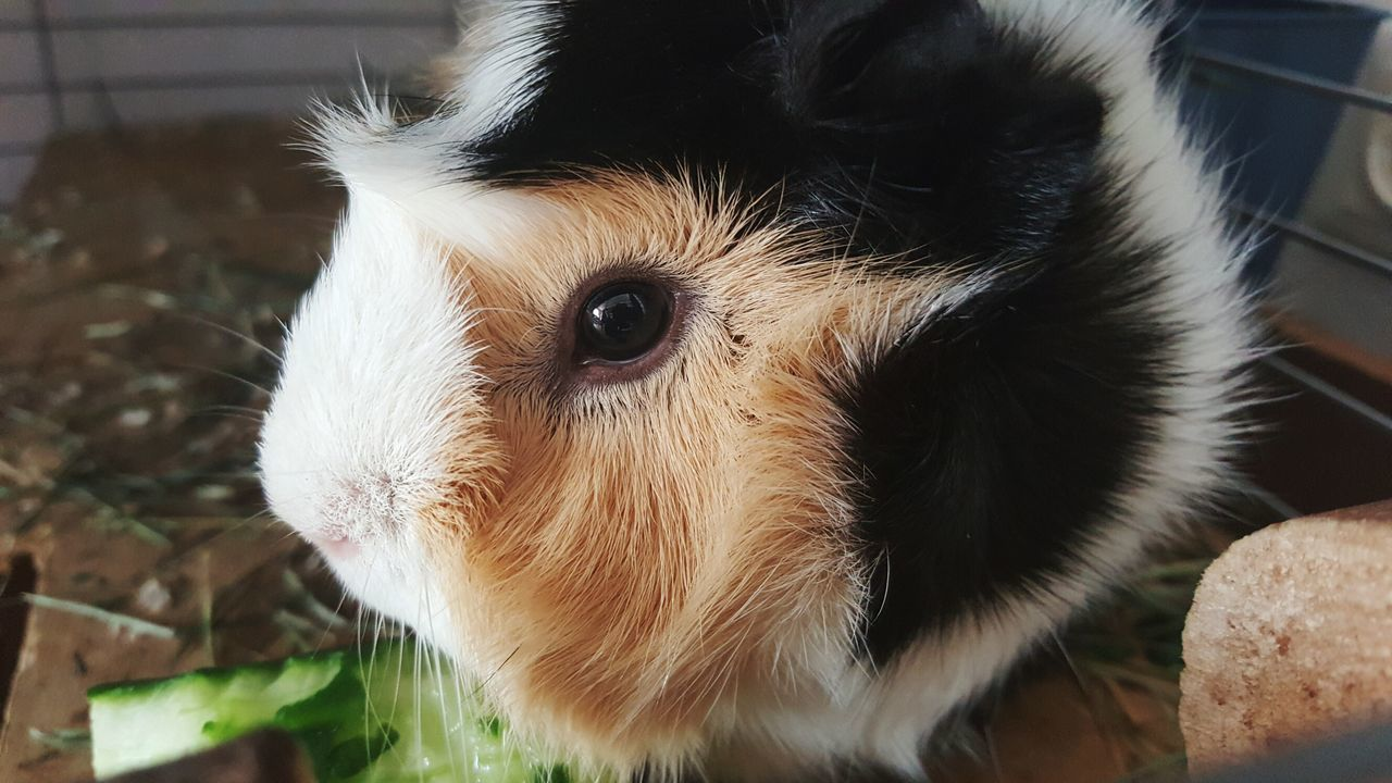 Beautiful stock photos of guinea-pigs,  Animal Body Part,  Animal Eye,  Animal Head,  Animal Themes