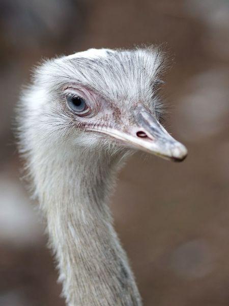 Nandu Ostrich Amstelpark Blue Eyes Looking At Me