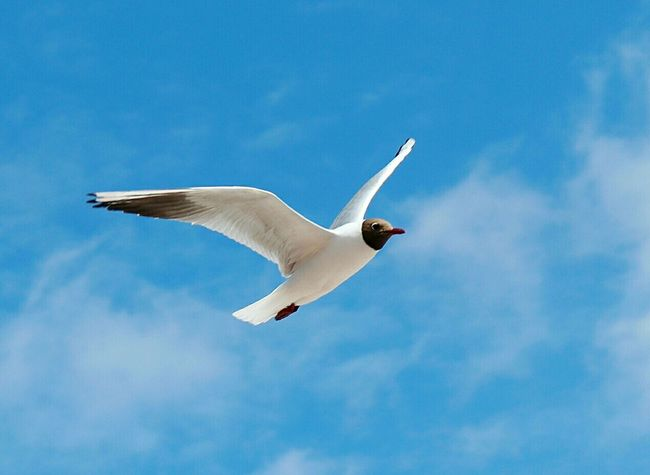 SEAGULL IN FLIGHT Seagull Flying Seagulls In Flight Seagull And Sky Seagulls Flying Over Me Bird Photography Birds Of EyeEm  Seagulls In The City Urban Birds Urban Seagulls Laughing Gull Laughing Gulls Black Headed Gull Blackheaded Gull Gulls In Flight Summer2016