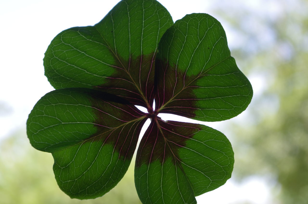 Beauty In Nature Bokeh Close-up Day Four Leaf Clover Four Leaf Clovers 🍀 Freshness Good Luck Good Luck Charm Green Green Color Growth Leaf Nature No People Outdoors Plant Sky Tree Veins In Leaves White Background