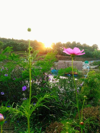 Flower Nature Beauty In Nature Freshness Plant Fragility Growth Leaf No People Sunlight Sunset Sky Close-up Sunbeam Outdoors Sun Day Flower Head Water