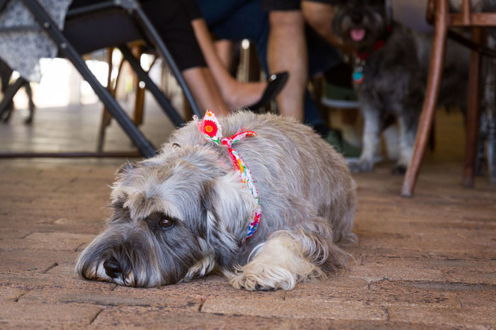 Dogs Of EyeEm Schnauzer Schnauzerlife Animal Themes Beauty In Nature Close-up Day Dog Dog With Beard Dogslife Domestic Animals Focus On Foreground Grey Dog Incidental People Low Section Mammal One Animal Outdoors People Pets Portrait Schnauzerlove Sitting