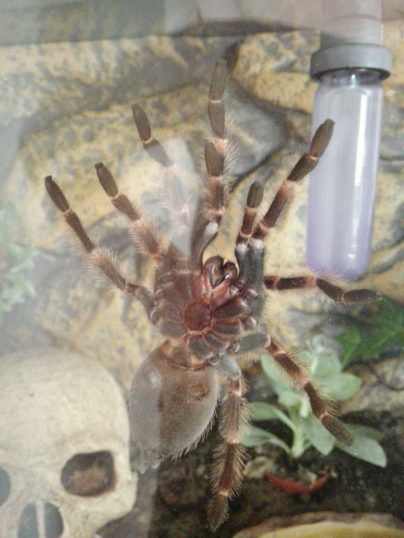Spinne Marie - Brachypelma Smithi Brachypelma Tarantula Vogelspinne