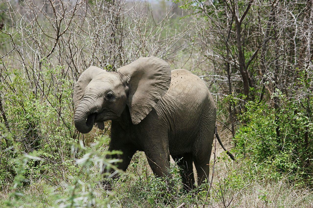 Elephant Grass Animals In The Wild Nature Animal Themes Animal Animal Wildlife African Elephant No People Outdoors Animal Trunk One Animal Day Tusk Safari Animals Mammal Beauty In Nature