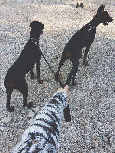 Dobermann Dobermanpinscher Dobe Dog Dogs Dogslife