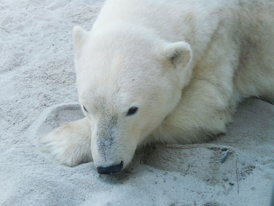 Beautiful stock photos of polar bear, Animal Themes, Animals In The Wild, Beach, Day