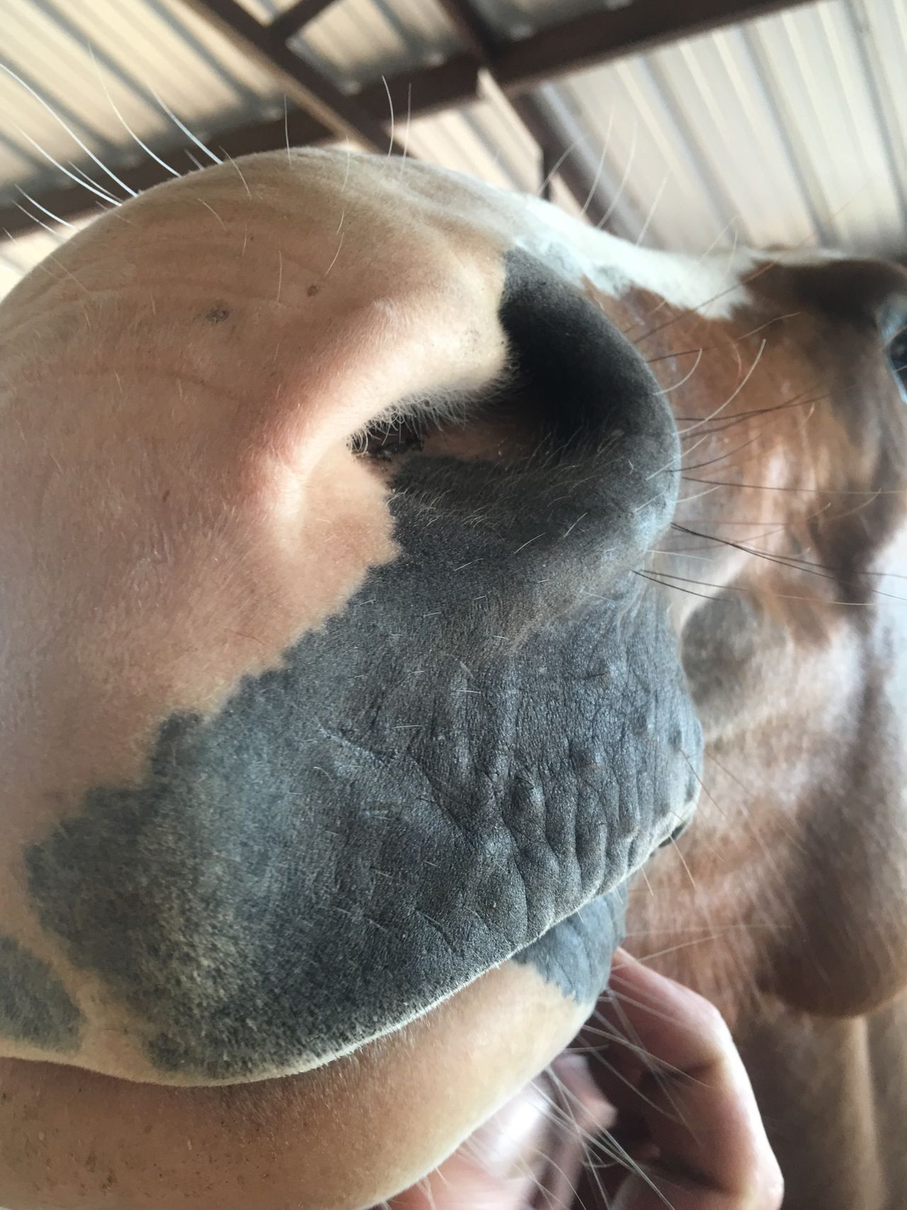 Horse Animal Themes One Animal Domestic Animals Pets Hand Close-up Mammal IPhone Relaxation Zoology Farm Animals Horses Horse Head Nose Muzzle Animal Nose Resting Animal Whisker Human Animal Interaction Close Up Focus On Foreground Snout Laziness