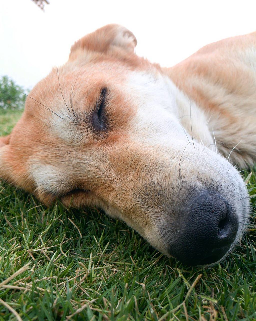 one animal, animal themes, mammal, pets, dog, domestic animals, lying down, relaxation, close-up, day, grass, no people, outdoors, nature