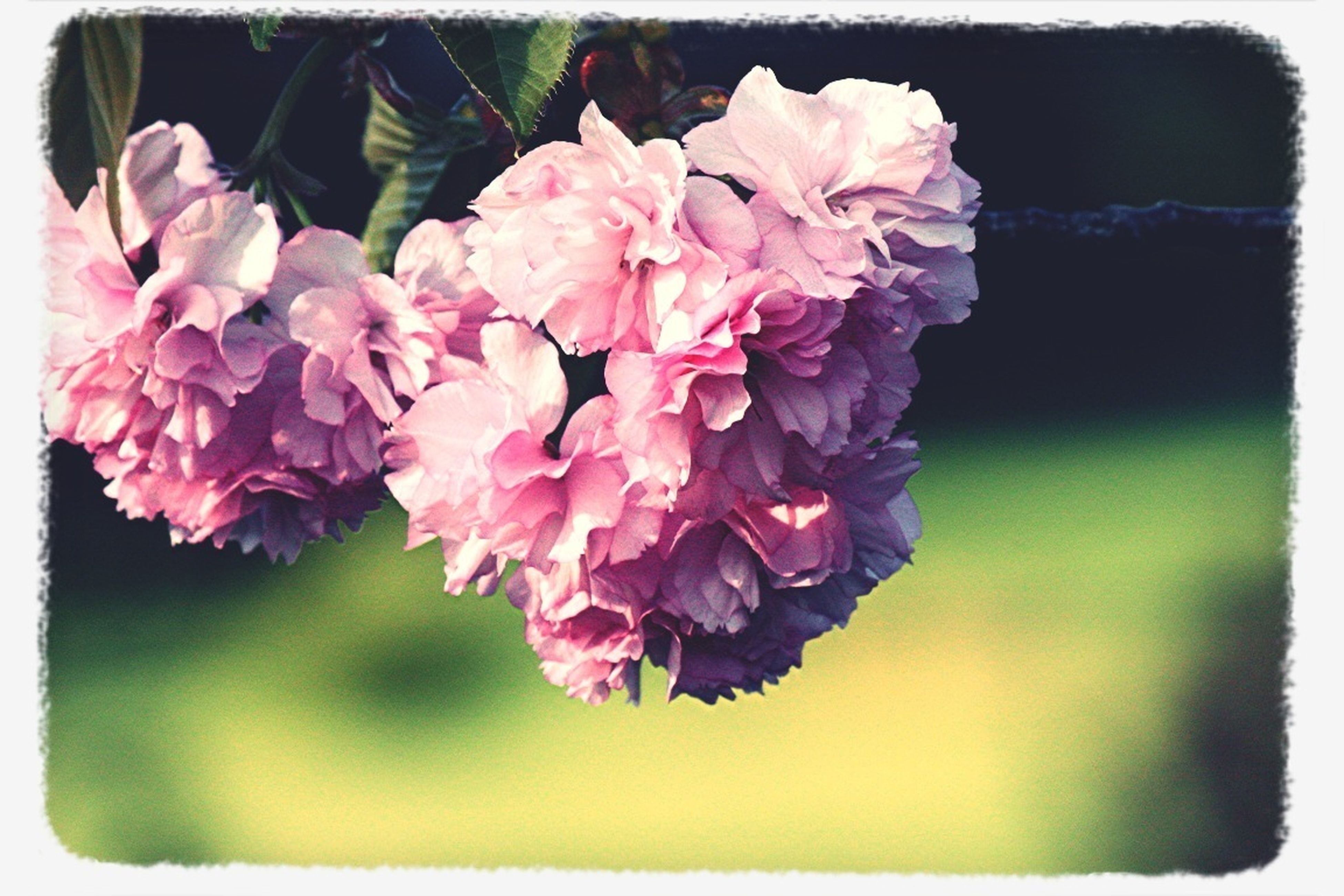 flower, transfer print, fragility, freshness, petal, auto post production filter, beauty in nature, flower head, growth, close-up, nature, focus on foreground, blooming, blossom, plant, pink color, in bloom, bunch of flowers, botany, springtime