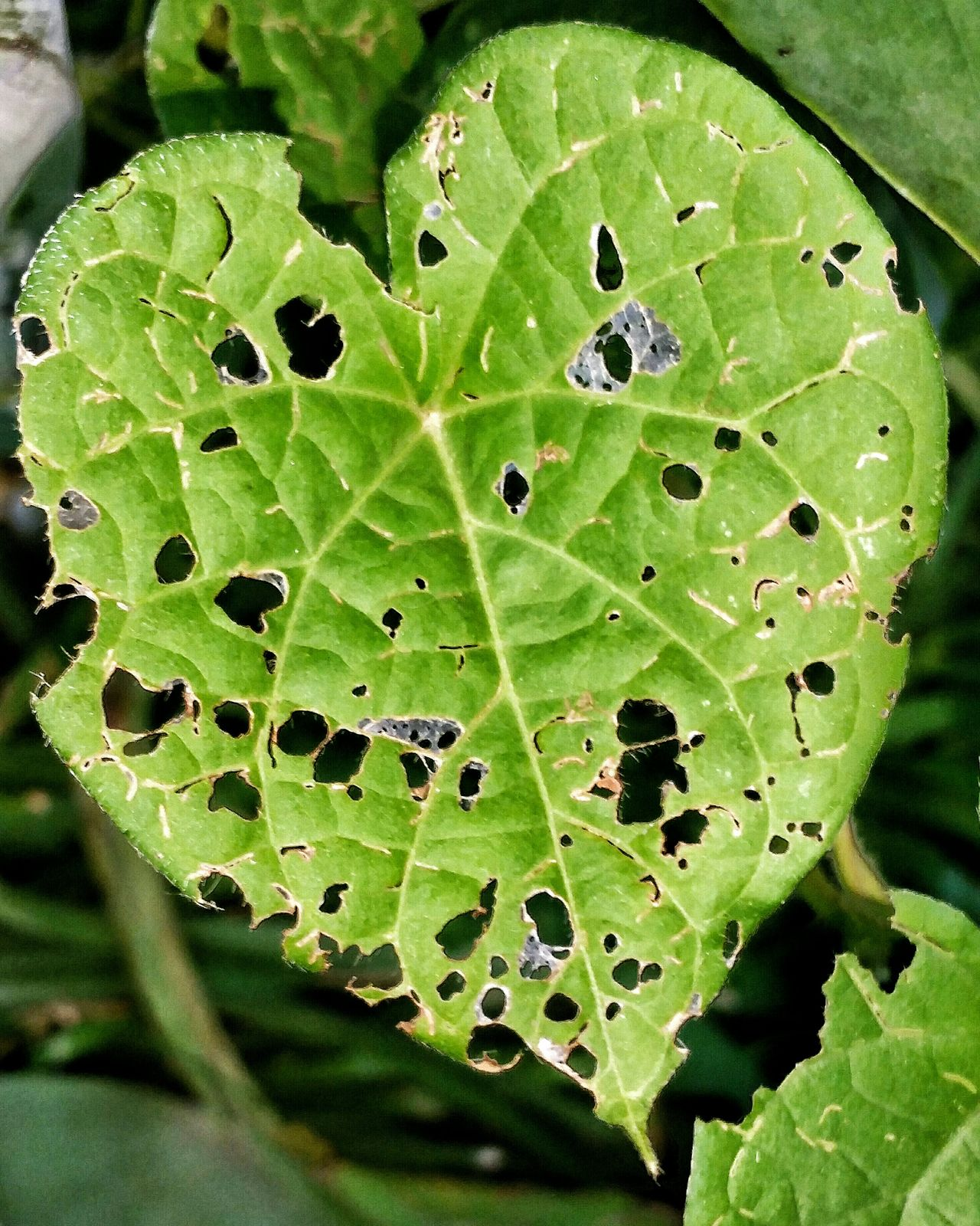 Leaf Lace Leaf Plant Green Leaf Holes Macro Macro Plants Broken Heart Holey Design Beauty In Nature