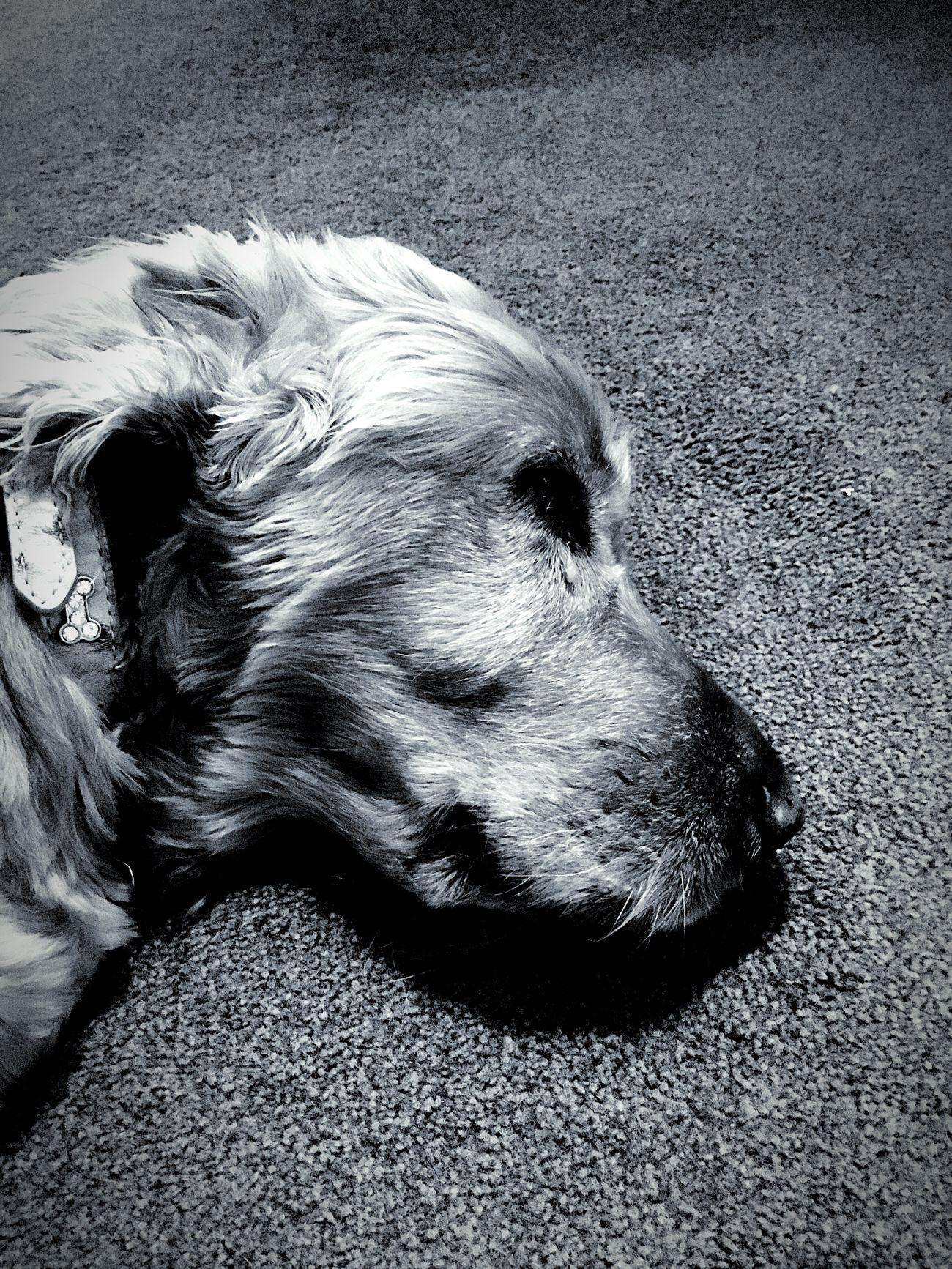 Oscar Dog Loyalty Close-up One Animal Calm Blackandwhite