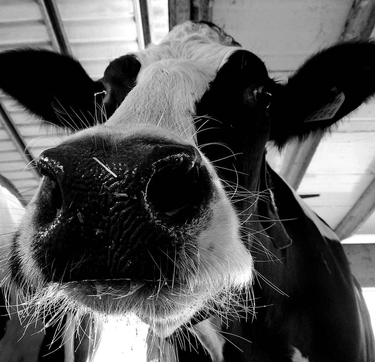 Domestic Animals Farm Life Cows🐮 Cow Face Cow Farm Coworking Mammal Animal Themes Milk Milk Production One Animal Close-up Indoors  Day No People