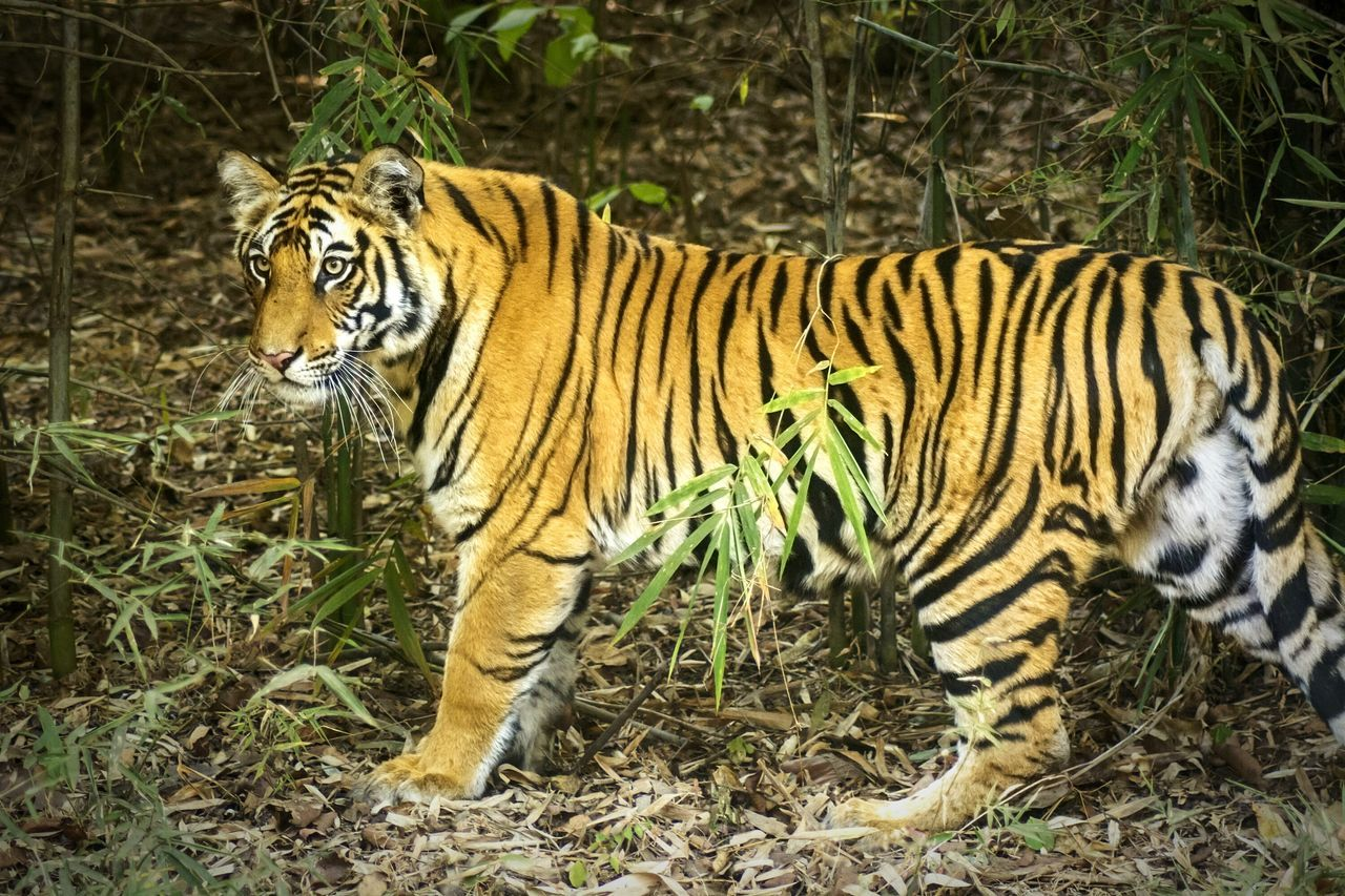 Bandhavgarh Bandhavgarh National Park Tiger Tiger-love National Geographic National Park INDIA TIGER