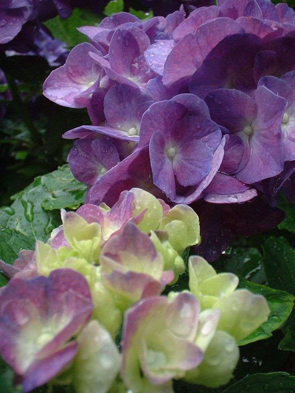 EyeEm Nature Lover Beauty In Nature Connected With Nature Purple Hydrangea Nature Photography EyeEm Colorful! No Editing Needed