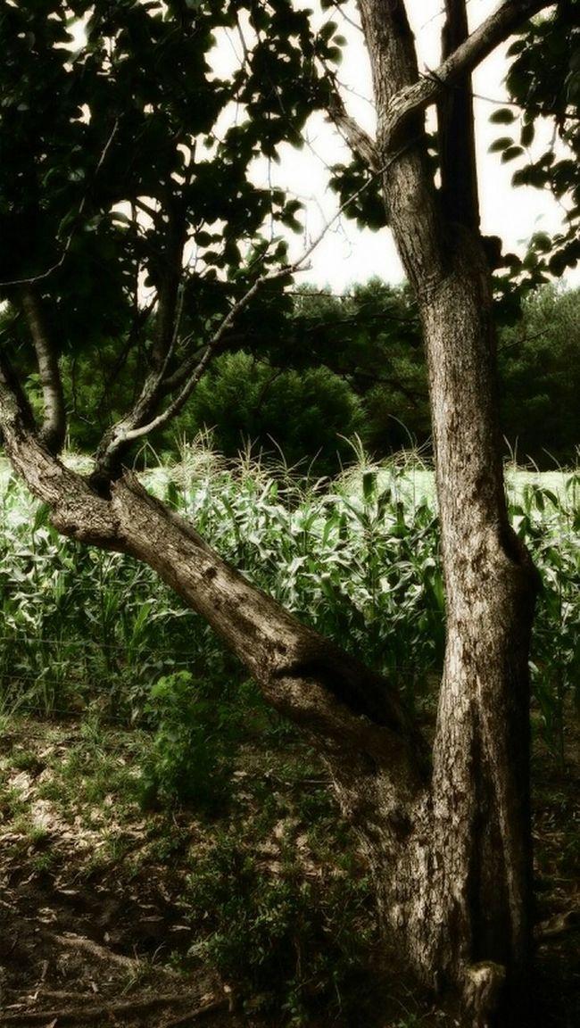 Trees Tree Old Tree Pear Tree