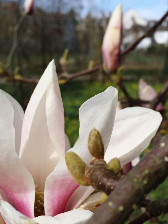 Spring Is Almost Here Springtime Spring Flowers Flowers Trees Tree Beautiful Nature Photography Frühlingserwachen Nature Little Things Make You Enjoy Every Day Sun Magnolia