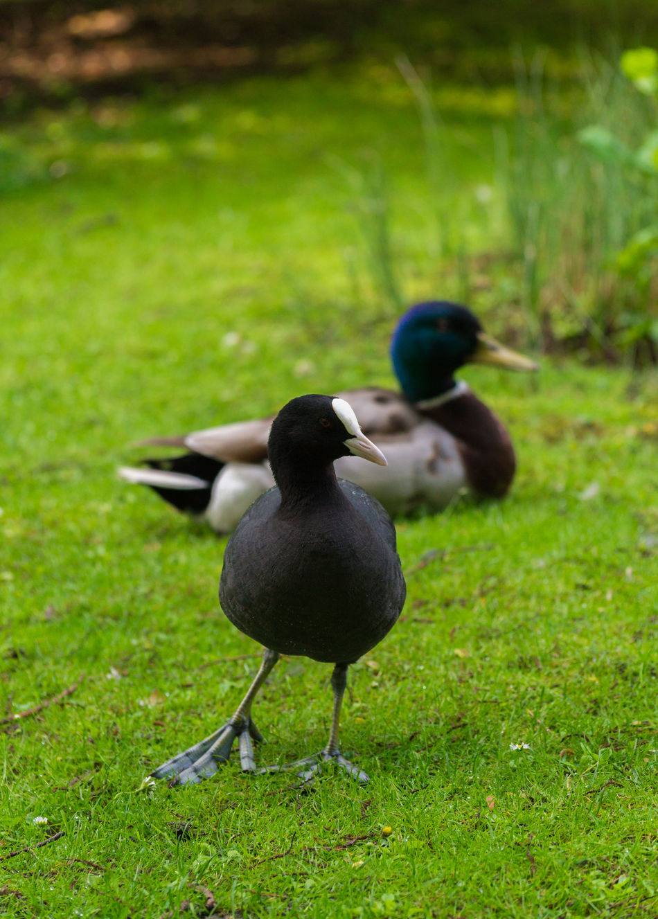 A coot stands right in the picture...😂 Animals In The Wild Background Birds Black Close-up Concept Coots Duck Fulica Funny Grass Green Meadow Moorhen Nature One Animal Outdoor Rallidae Water Birds Wildlife Blässhuhn Vogel Schwarz Wasservogel