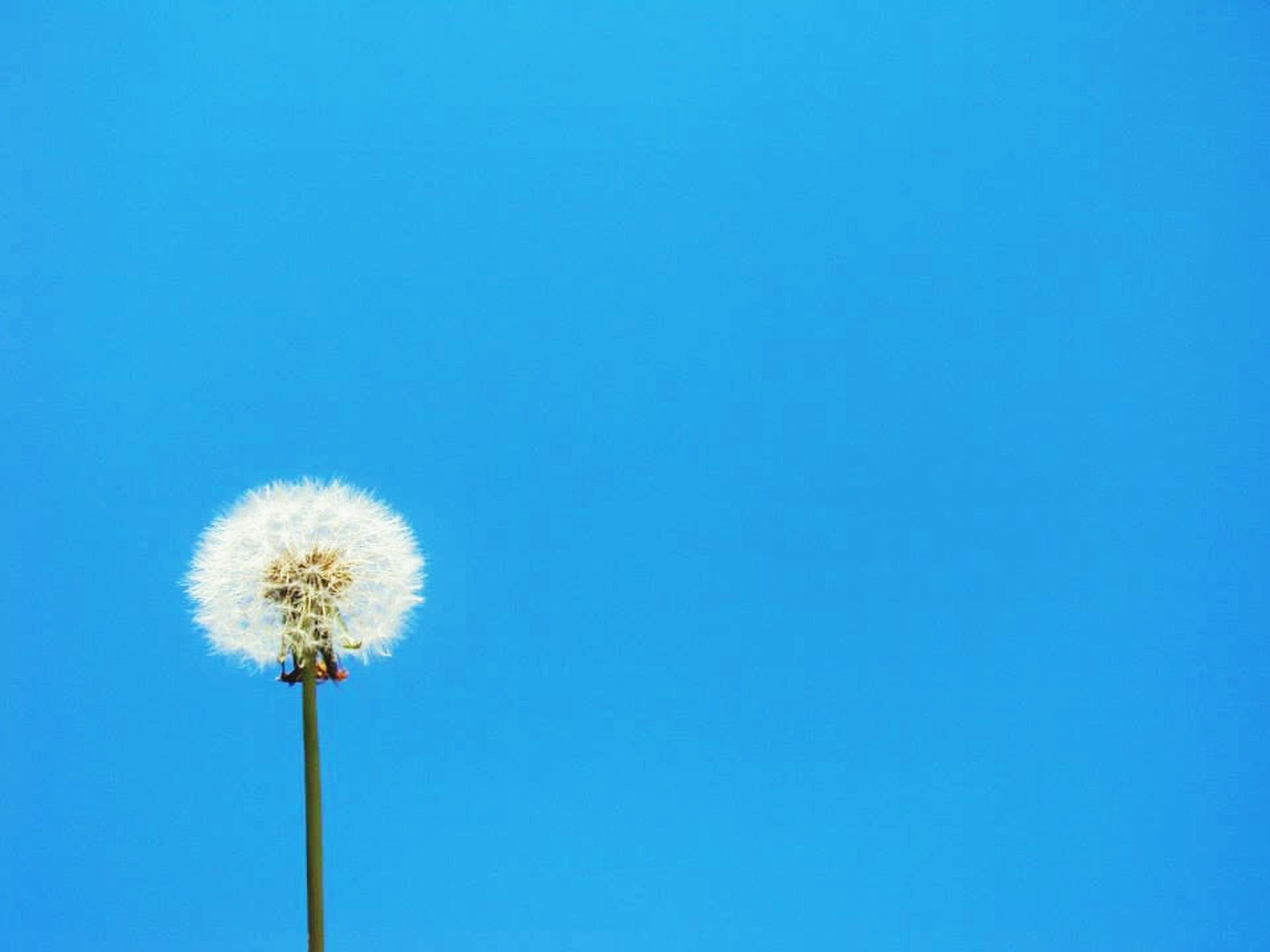 copy space, clear sky, blue, low angle view, no people, nature, sky, flower, fragility, outdoors, beauty in nature, day, flower head