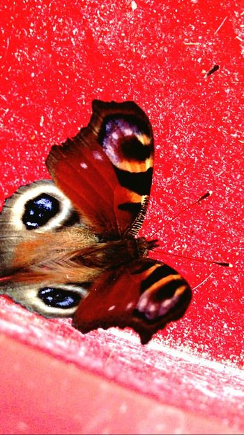 Red Close-up Insect Beauty In Nature Butterfly - Insect Nature Orange Color EyeEm Nature Lover Red Blue Eye's Looking At You♡ Eye's Eye's Are Always Watching You Beautiful Nature Hometown Nature EyeEm Best Shots - Nature Beauty In Nature No People Taking Photos