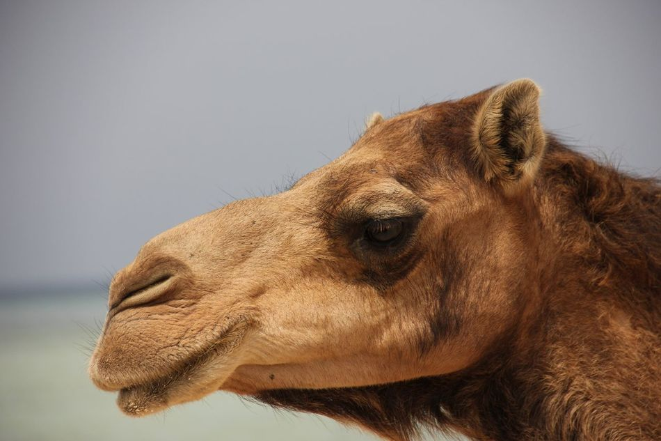 Beautiful stock photos of camel, Animal Themes, Animal Wildlife, Animals In The Wild, Camel
