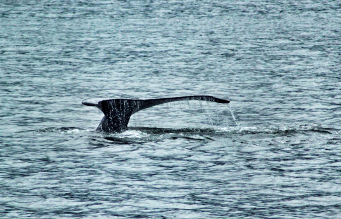 Humpback Whale in Juneau by Alfie
