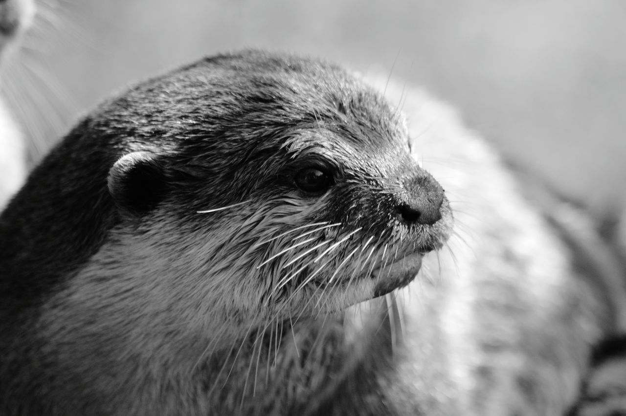 Close-Up Of Otter