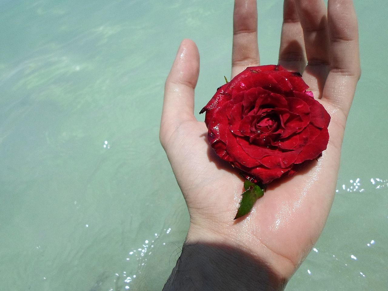 flower, water, rose - flower, red, one person, petal, beauty in nature, nature, real people, human body part, human hand, close-up, day, freshness, outdoors, fragility, women, flower head, people