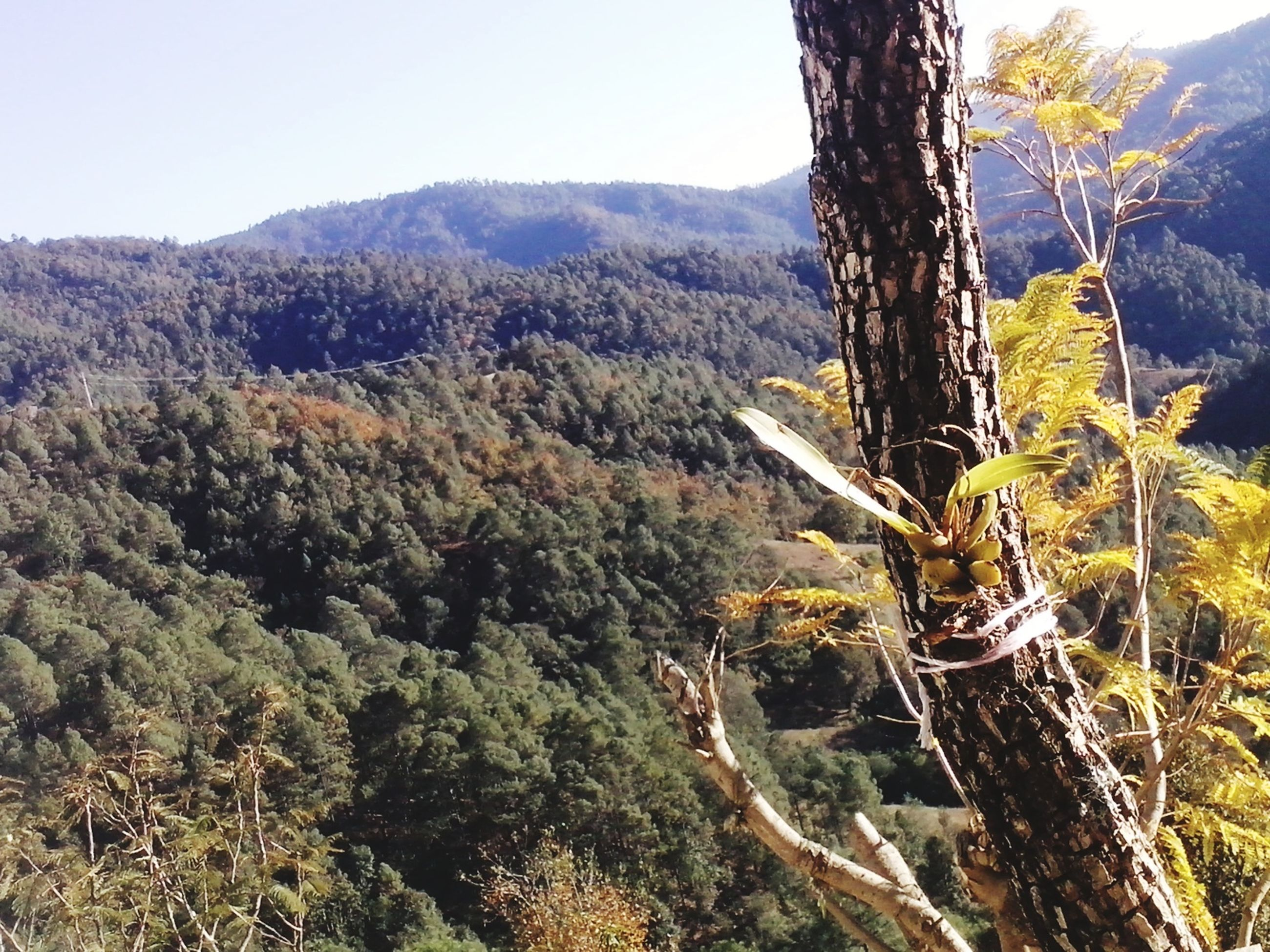 mountain, tree, tranquility, tranquil scene, scenics, beauty in nature, nature, growth, landscape, mountain range, forest, non-urban scene, clear sky, idyllic, green color, tree trunk, lush foliage, day, sky, remote