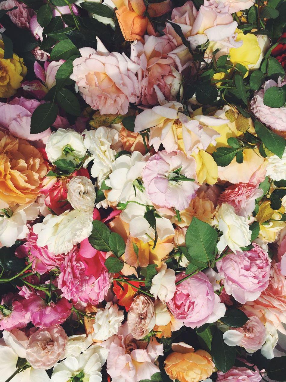 Sunday rose Roses Flowers Garden