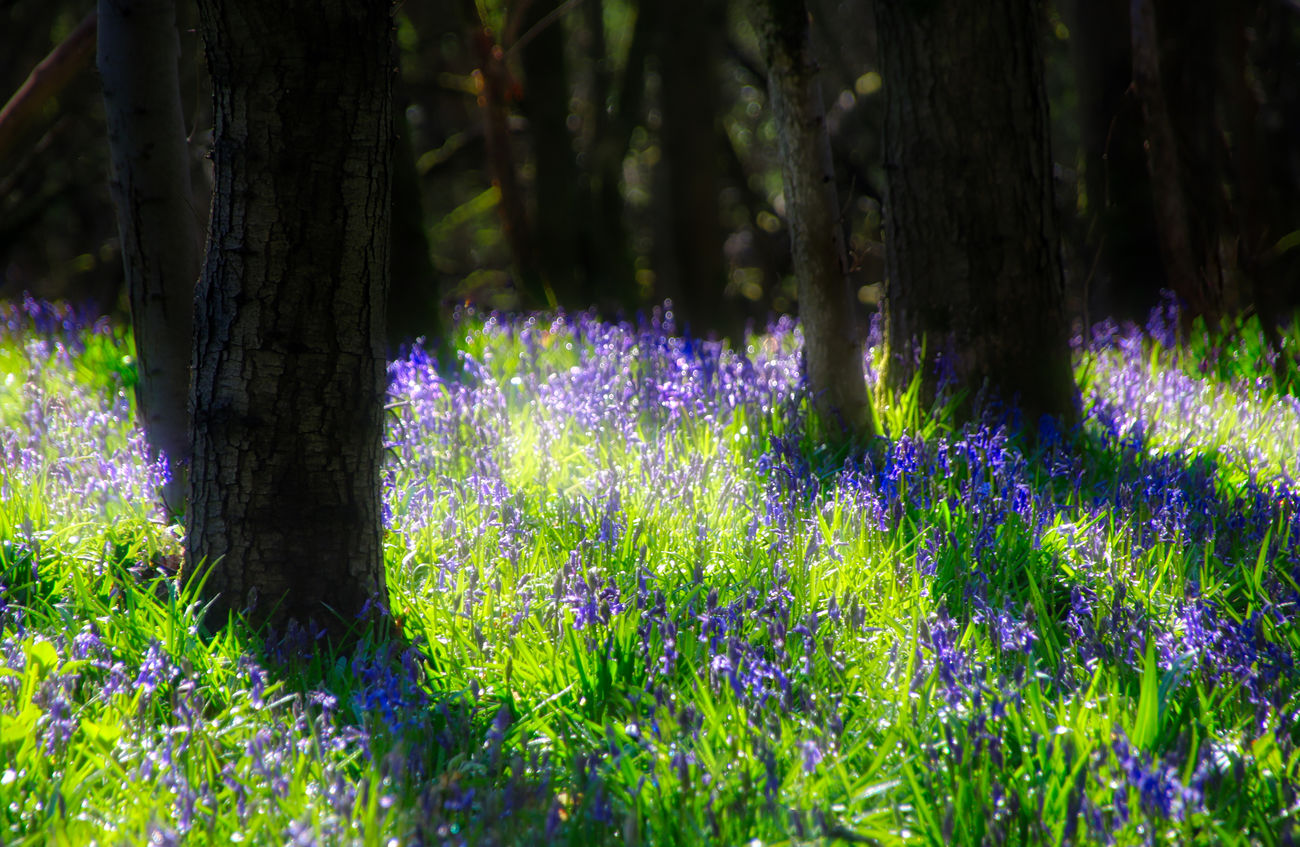 Bluebell Forest Beauty Beauty In Nature Day Flower Freshness Grass Growth Nature No People Outdoors Purple Summer Tree Tree Trunk