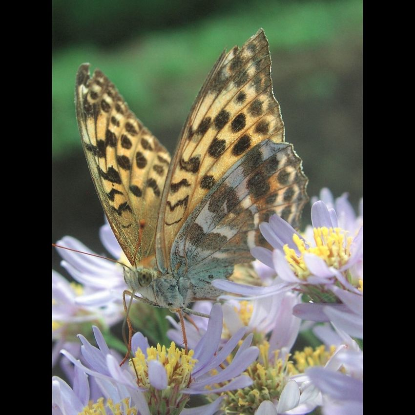 _Argynnis paphia geisha_ Silverwashed Fritillary Butterfly Insect Aster