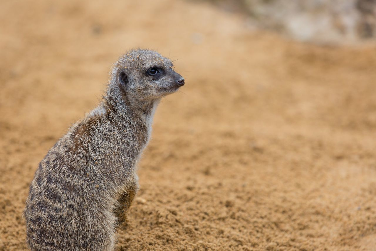 Animal Themes Meerkat One Animal Animals In The Wild Sand Animal Wildlife Focus On Foreground Low Angle View Nature Photography Zoo Nature Animals In The Wild Side View Nature No People Outdoors Close-up Day Mammal
