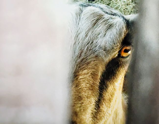 Showcase July Real Photography The View From Here Eye Peekaboo Goat Animal Photography 43 Golden Moments Golden Eye