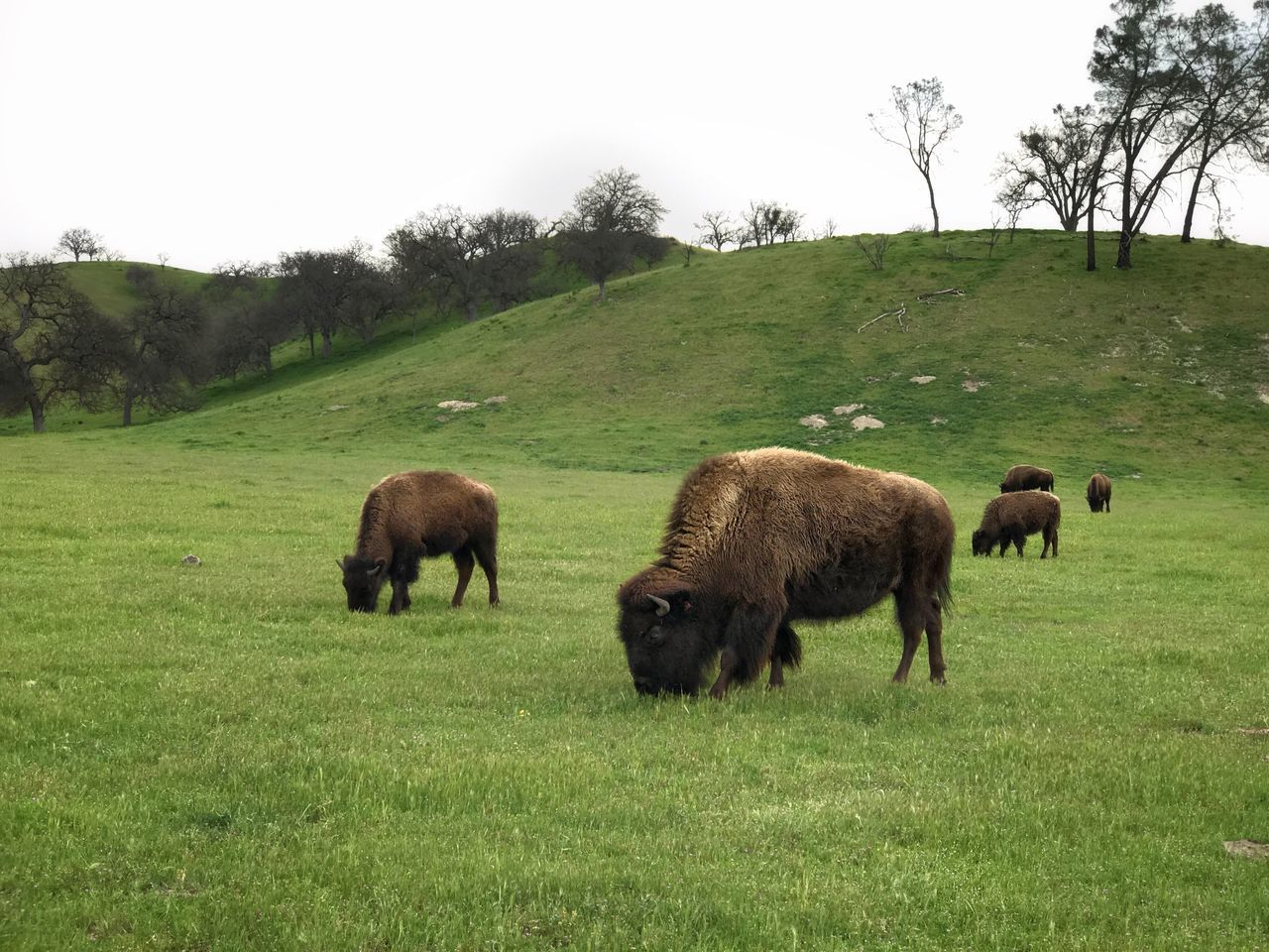 grass, animal themes, field, nature, no people, mammal, grazing, landscape, tree, outdoors, day, clear sky, scenics, full length, domestic animals, beauty in nature, american bison, sky