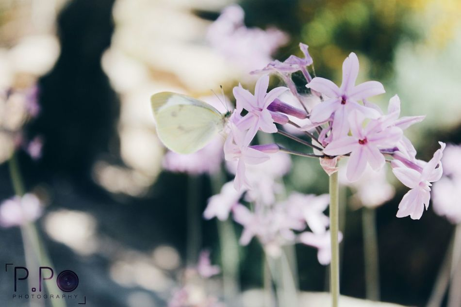 Nature Theessenceofsummer Flower Flowers Garden Photographer Butterfly Leaves Green Purple Purple Flowers Purple Flower Pink Pinkflower Pinkflowers Yellow Yellowbutterfly Summer Spring Cyprus Photography Photooftheday EyeEm Nature Lover EyeEm Best Shots Nofilters #naturebeautiful #amazing