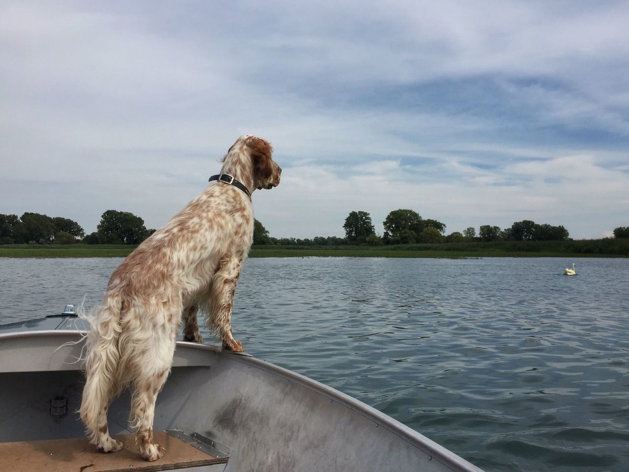 Pointing a swan Grosse Ile English Setter Bird Dog Dog In Boat Birddog Pointer Dog Swan