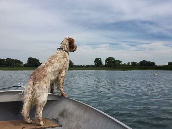 Pointing a swan Grosse Ile English Setter Bird Dog Dog In Boat Birddog Pointer Dog Swan