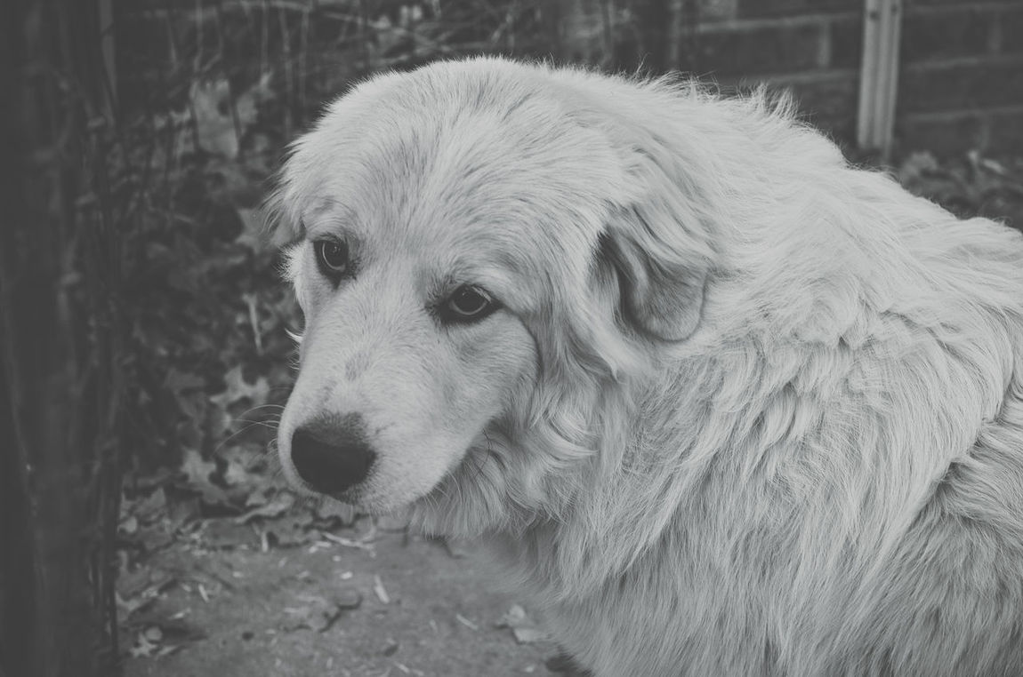 Animal Themes Black And White Canine Close-up Day Dog Domestic Animals Great Pyrenees Mammal No People One Animal Outdoors Pets Puppy