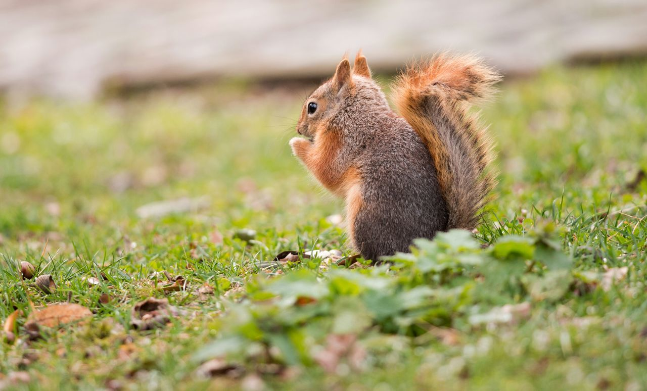 Squirrel. One Animal Grass Animal Animal Wildlife Animals In The Wild Mammal Animal Themes Squirrel Nature Outdoors No People Day Close-up Beauty In Nature Field Grassy Green Focus On Foreground Bokeh Cute Wildlife Photography Park - Man Made Space