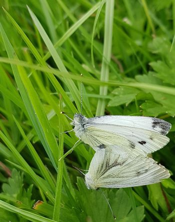 Butterfly - Insect No People Green Color Close-up Outdoors Day Nature Butterflies Grass