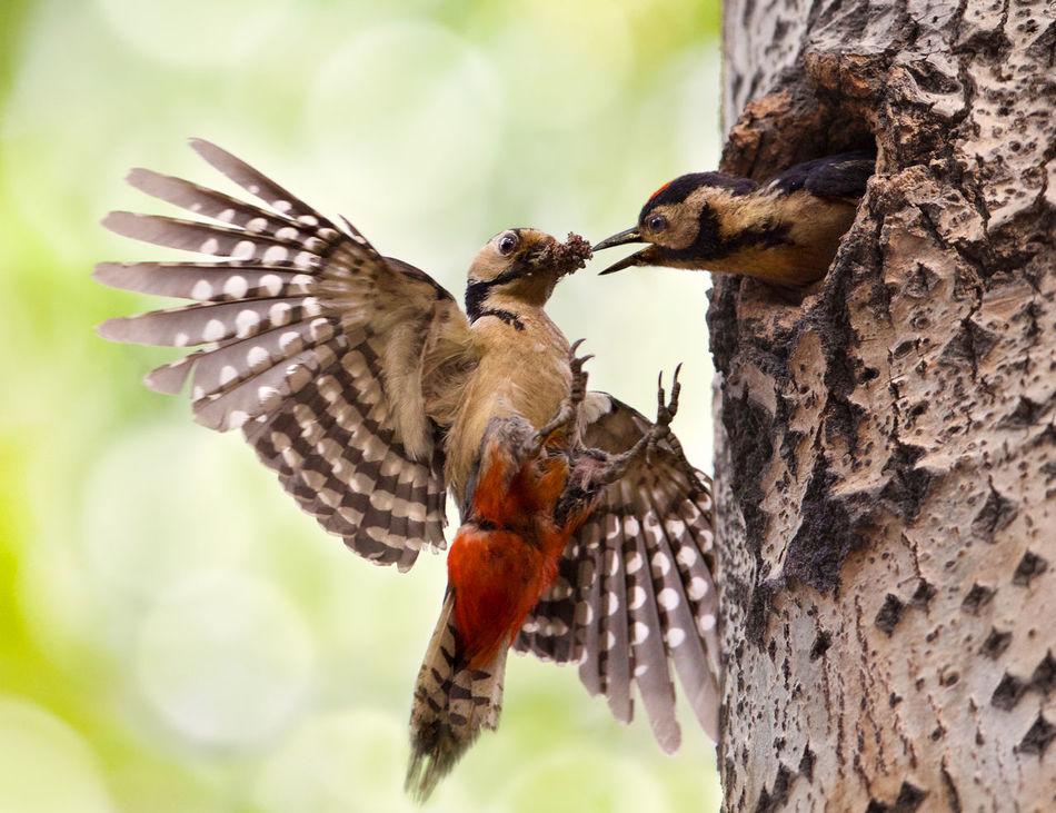 Beautiful stock photos of woodpecker, Animal Family, Animal Themes, Animal Wildlife, Animals In The Wild